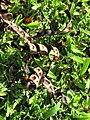 Starr-091104-8796-Adenanthera pavonina-seedpods-Kahanu Gardens NTBG Kaeleku Hana-Maui (24620458559).jpg