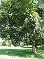 Starr-091104-9035-Sandoricum koetjape-habit-Kahanu Gardens NTBG Kaeleku Hana-Maui (24987389975).jpg