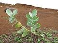 Starr-101228-5888-Calotropis procera-fruiting habit-Puu Moiwi-Kahoolawe (24691431519).jpg