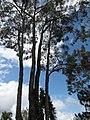 Starr-110307-2413-Eucalyptus sp-habit-Kula Botanical Garden-Maui (24782433900).jpg