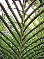 Starr-110307-2708-Blechnum gibbum-sori-Kula Botanical Garden-Maui (24451717113).jpg