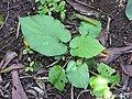 Starr-110330-4205-Piper auritum-habit-Garden of Eden Keanae-Maui (25081402345).jpg