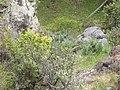 Starr-110705-6584-Ulex europaeus-invading gulch-Waiale Gulch-Maui (24979795372).jpg