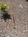 Starr-110712-7008-Lepidium virginicum-habit-Near Puu Naue HNP-Maui (24803272730).jpg