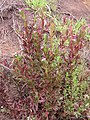 Starr-120501-5455-Epilobium ciliatum-flowering habit with E billardierianum subsp cinereum-Polipoli-Maui (25142085855).jpg