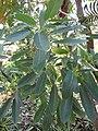 Starr-120522-6124-Tabebuia aurea-leaves-Iao Tropical Gardens of Maui-Maui (25049920031).jpg