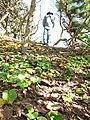 Starr-130110-1414-Thespesia populnea-seedlings with Forest-Waihee Beach Park-Maui (25178118916).jpg