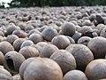 Starr-130214-1529-Macadamia integrifolia-lots of nuts-Waihee-Maui (25205665855).jpg