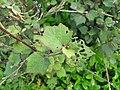 Starr-130322-3858-Urena lobata-leaves-Hanalei NWR-Kauai (24914163450).jpg