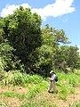 Starr-130702-5489-Syzygium cumini-habit with Kim-Kealia Pond-Maui (25192485436).jpg