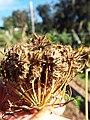 Starr-131216-2786-Daucus carota subsp sativus-seedhead-Hawea Pl Olinda-Maui (25228499685).jpg