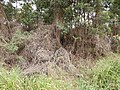 Starr-140917-1915-Delairea odorata-dieback habit-Kula-Maui (25246421875).jpg