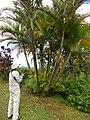 Starr-141027-2650-Chrysalidocarpus lutescens-fruiting habit wiht Kim-Nahiku-Maui (25128573162).jpg