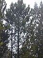 Starr 010515-0125 Pinus pinaster.jpg