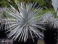 Starr 011205-0093 Argyroxiphium sandwicense subsp. sandwicense.jpg