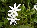 Starr 030602-0072 Jasminum multiflorum.jpg
