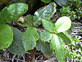 Starr 030729-0068 Terminalia catappa.jpg