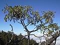 Starr 040214-0072 Sophora chrysophylla.jpg