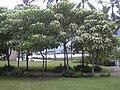 Starr 040711-0127 Aleurites moluccana.jpg