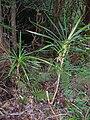 Starr 041113-0753 Freycinetia arborea.jpg