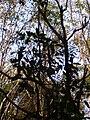 Starr 041226-2345 Alectryon macrococcus var. macrococcus.jpg