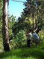 Starr 050831-4225 Eucalyptus globulus.jpg