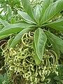 Starr 061102-9565 Tournefortia argentea.jpg