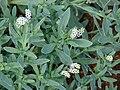 Starr 070123-3653 Heliotropium curassavicum.jpg