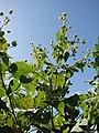 Starr 070215-4595 Abutilon grandifolium.jpg