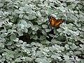 Starr 070621-7414 Helichrysum petiolare.jpg
