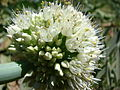 Starr 070714-7583 Allium fistulosum.jpg
