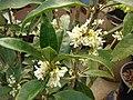 Starr 070906-8516 Osmanthus fragrans.jpg