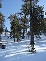 Starr 071223-0428 Pinus ponderosa.jpg