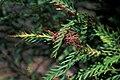 Starr 980528-4062 Grevillea longifolia x caleyi.jpg