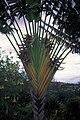Starr 980529-4368 Ravenala madagascariensis.jpg
