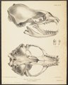 Stenorhynchus weddelli - schedel - 1700-1880 - Print - Iconographia Zoologica - Special Collections University of Amsterdam - UBA01 IZ21100167.tif