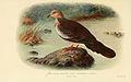 Streptopelia Suratensis Tigrina Malay or Burmese Spotted Dove.jpg