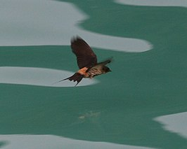 Striated Swallow (Hirundo striolata striolata).jpg
