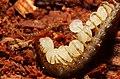 Strigeria Centipede guarding eggs.jpg