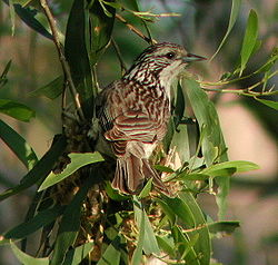 Striped Honeyeater Samcem.jpg
