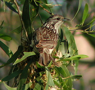 Striped honeyeater species of bird