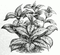 Strobilanthes dyerianus.png