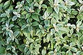 Strobilanthes lanatus 9157.jpg