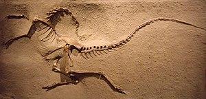 Ornithomimosauria - Cast of an ornithomimid (Struthiomimus altus) skeleton, Royal Tyrrell Museum