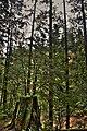 Stump Capilano Park Vancouver British Columbia Canada 01A.jpg
