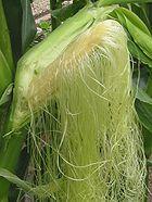 LE maïs  dans