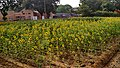 Sun Flower (Helianthus annuus) of Coimbatore.jpg