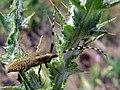 Sunflower Long-horned Beetle (Agapanthia dahli) (8338467696).jpg