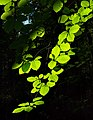 Sunlight on beech leaves in Gullmarsskogen ravine 3.jpg