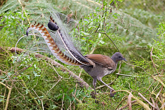 Budawang National Park - Lyrebird